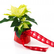 Stock Photo: White Poinsettia