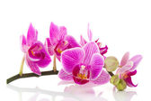 Pink Orchid branch — Stock Photo