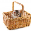 Maine Coon kitten in basket — Stock Photo