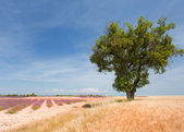 Landscape with Lavender in the Provence — Stock Photo