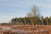 Heather landscape in winter — Stock Photo