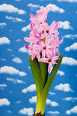 Pink hyacinth with blue sky — Stock Photo