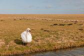 White swan in Dutch meadows — Stock Photo