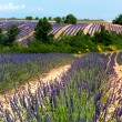Lavender fields in France — Stock Photo