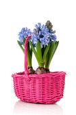 синий гиацинты в розовой корзинке — Стоковое фото