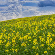Stock Photo: Canolfield