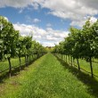 Rows of Grapevines growing in a vineyard — Stock Photo #9435812