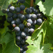 Stock Photo: Bunch of Cabernet Sauvignon Grapes