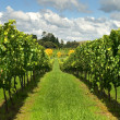Rows of Grapevines growing in a vineyard — Stock Photo #9436703