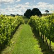 Rows of Grapevines growing in a vineyard — Stock Photo #9438476