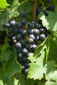 A Bunch of Cabernet Sauvignon Grapes — Stock Photo