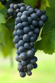 A Bunch of Cabernet Sauvignon Grapes — Stock Photo