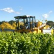 Harvesting Grapes — Stock Photo #9565747