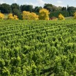 Vineyard Scene — Stock Photo