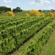 Stock Photo: Vineyard Scene