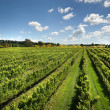 Vineyard Scene — Stock Photo #9566268