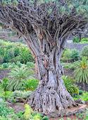 Velha árvore dragão em tenerife — Foto Stock