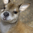 Stock Photo: Portrait of single Swamp Wallaby