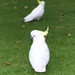 Sulphur-crested Cockatoos in The Domain — Stock Photo