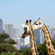 Two giraffes with city in background — Stock Photo