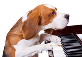 Dog playing the piano. — Stock Photo