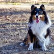 Border Collie — Foto Stock #9806673