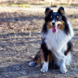 Foto Stock: Border Collie