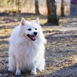 Spitz-dog — Stock Photo #9806707