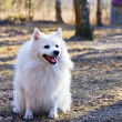 The spitz-dog - Stock Photo