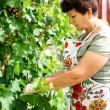 Pruning wine grapes - Stock Photo