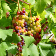 Unripe grapes in the garden - Stock Photo