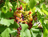 Unripe grapes in the garden — Stock Photo