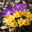 Purple and yellow crocus — Stock Photo #8586446