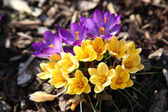Purple and yellow crocus — Stock Photo