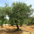 Olive tree on red soil - Stock Photo