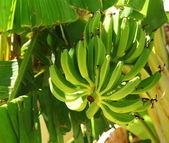 Zelené banány na stromě — Stock fotografie