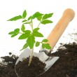 Tomato seedling on garden trowel, isolated on white — Stock Photo