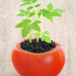 Young tomato plant growing, evolution concept — Stock Photo