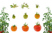 Evolution of red tomato isolated on white background — Stock Photo