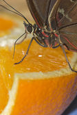 Brown and red butterfly feasting on an orange — Stock Photo