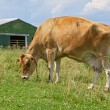 Cow in pasture — Stock Photo
