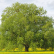 Big single willow tree - Stock Photo
