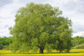 Big single willow tree — Stock Photo