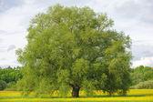 Big single willow tree — Stock Photo