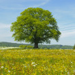 Stock Photo: Single linden tree