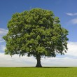 Single linden tree — Stock Photo