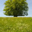Single linden tree — Stock Photo #9346646