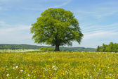 Single linden tree — Foto Stock