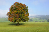 Single beech tree — Foto Stock