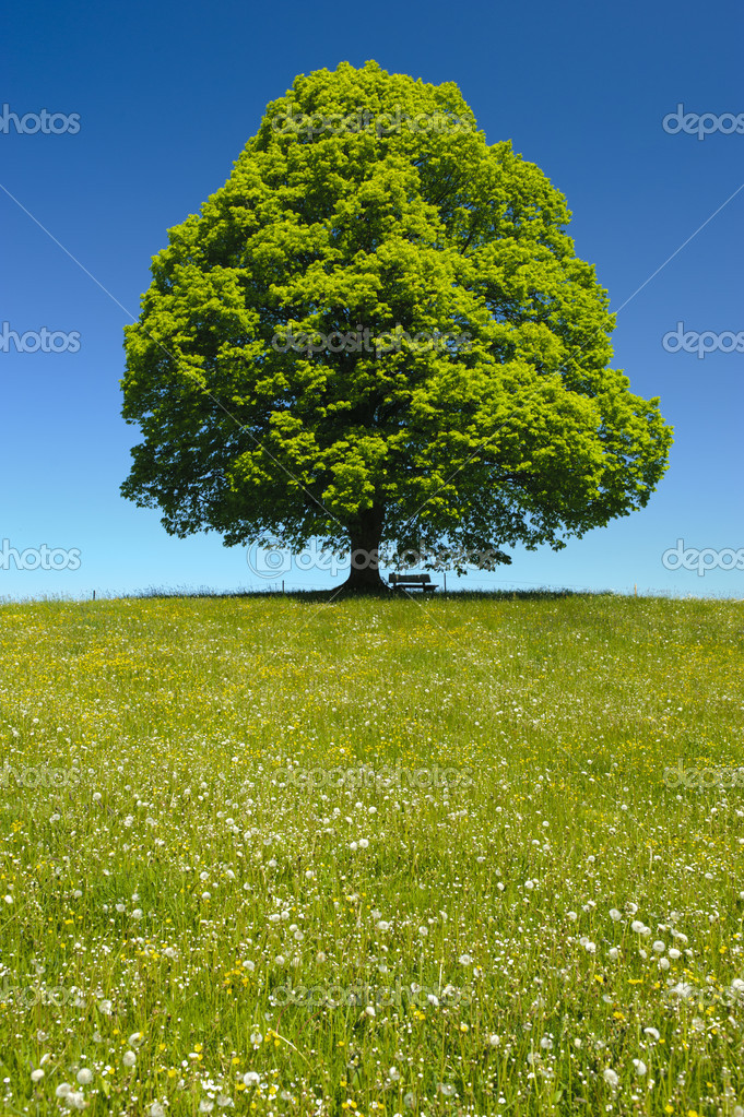 Single linden tree at spring — Stock Photo #9346238